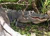Alligator Alley Florida 2-1