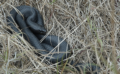 This was the second Black coachwhip snake we saw at Choke Canyon State Park