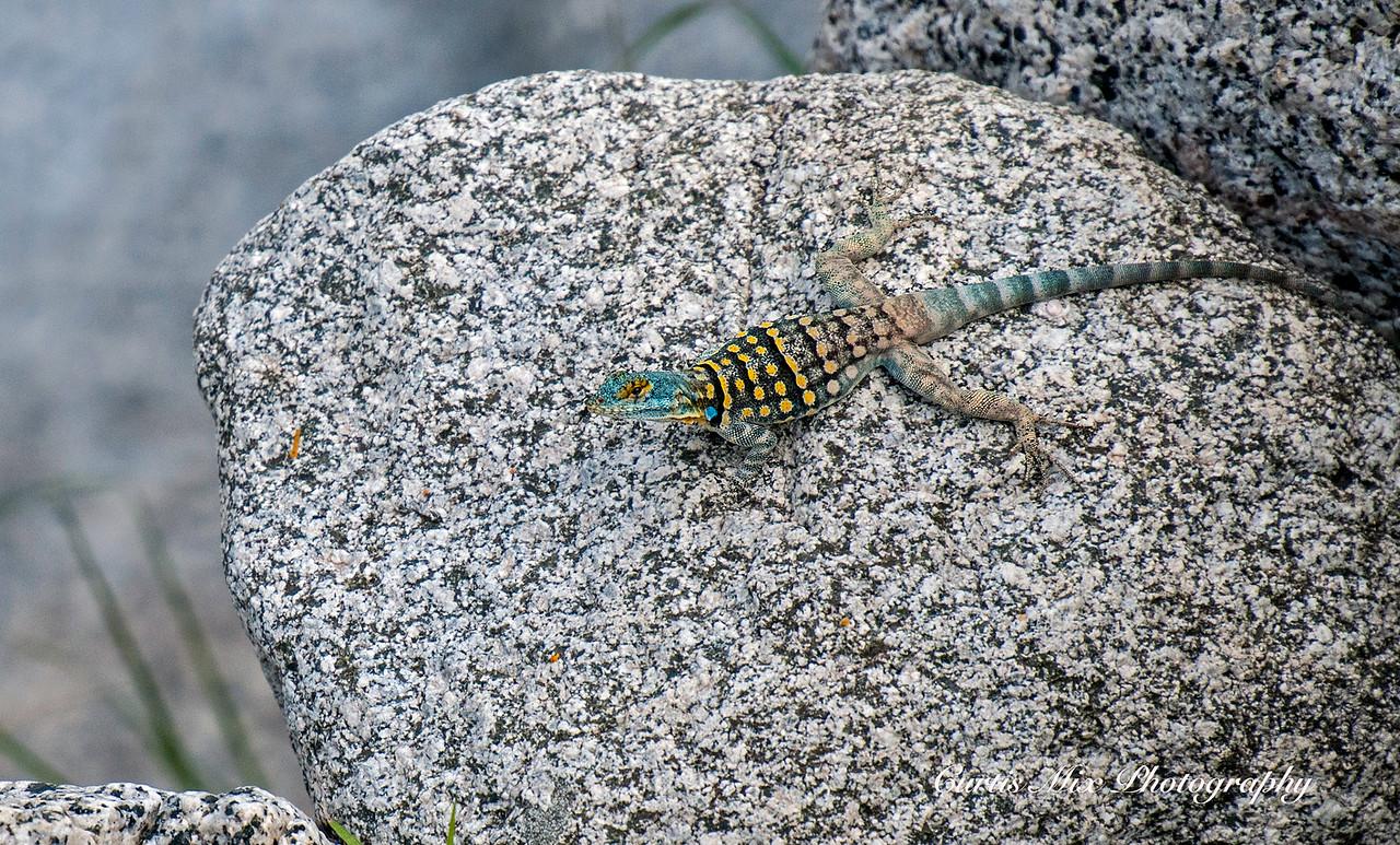 Rock Lizard, BCS, Mexico.