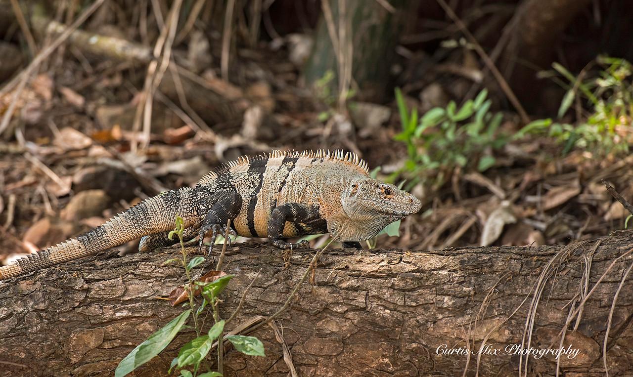 Spiny-tailed Black Iguana, Costa Rica.