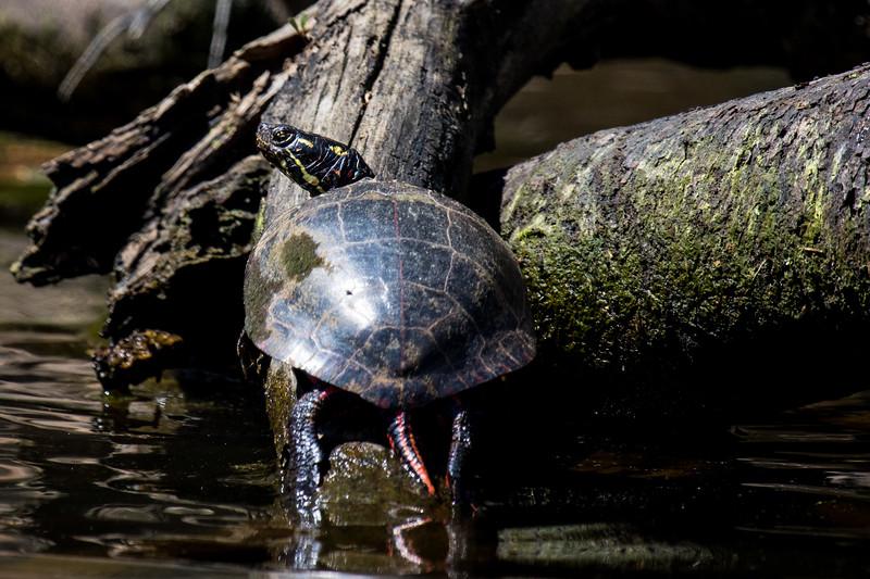 Turtles-25