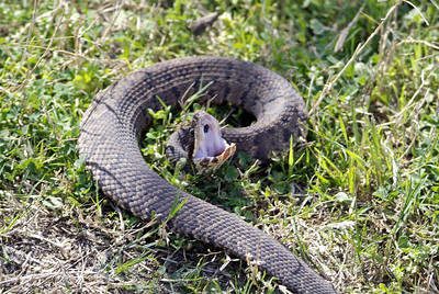 This Cottonmouth Water-moccasin was crossing my trail and turned to meet me when I walked up on him.  You can see how they got their name.