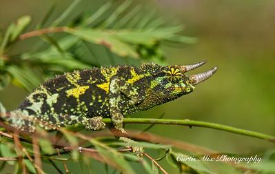 Jackson's Chameleon, Maui, Hawaii.