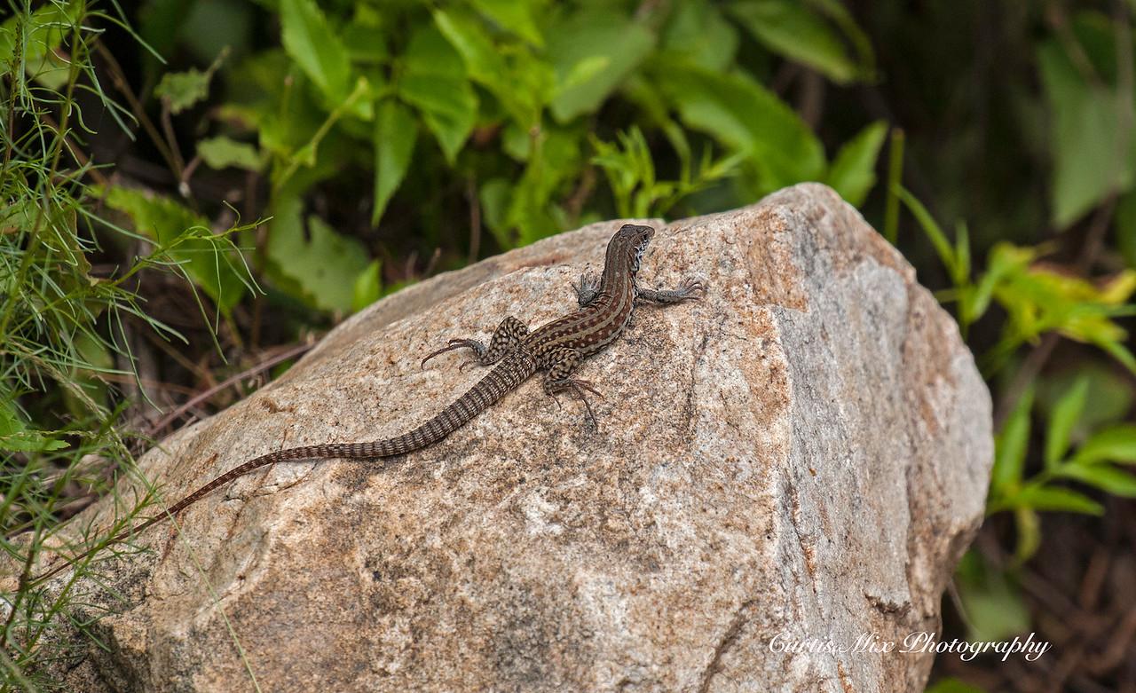 ? Whiptail Lizard, BCS, Mexico.
