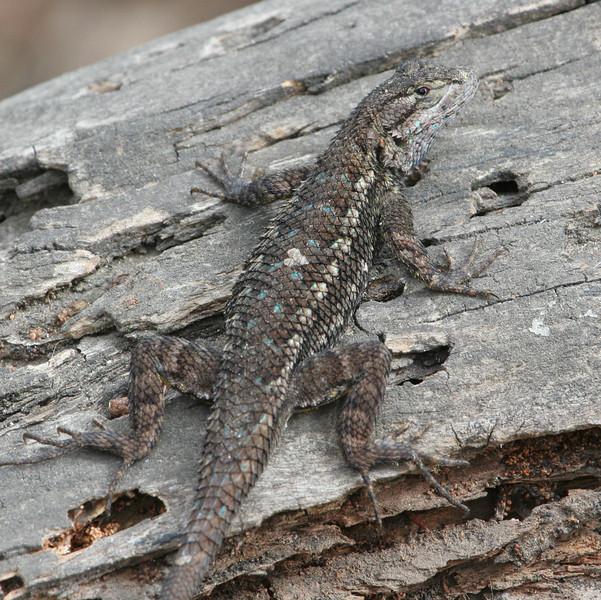 Great Basin Fence Lizard at San Elijo Lagoon