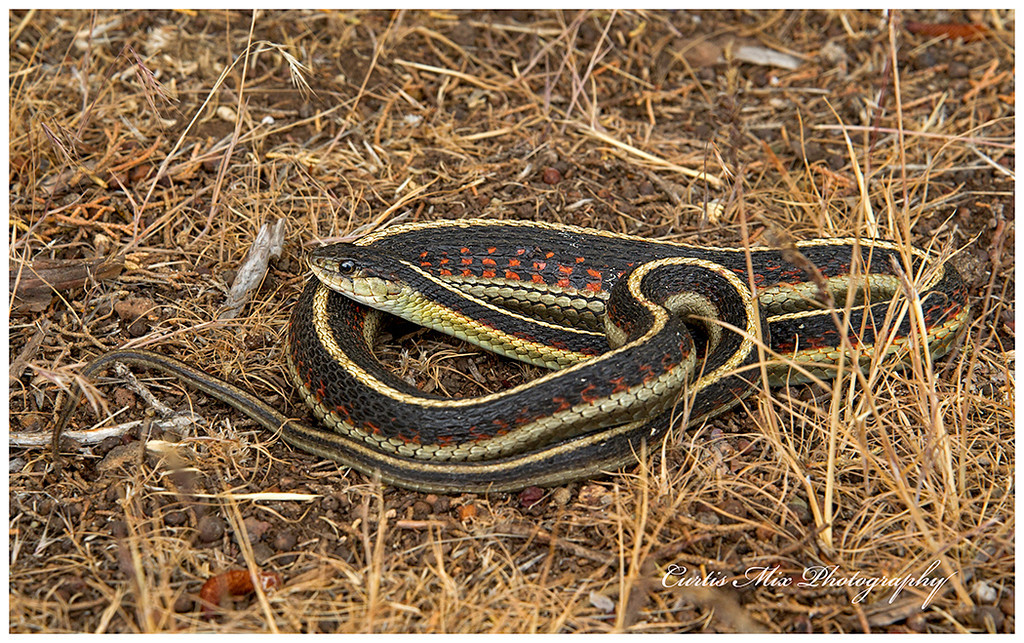 This Water Snake just swallowed a frog near Klamath Lake.