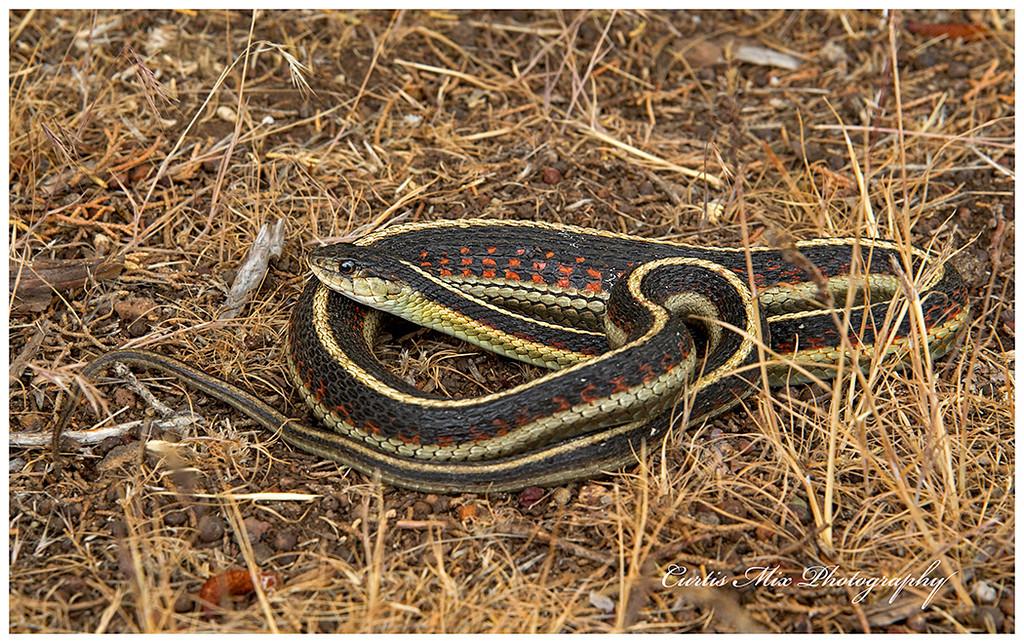 Water Snake, Oregon.