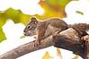Red Squirrel kit, Beaver Marsh, 9/17/10.