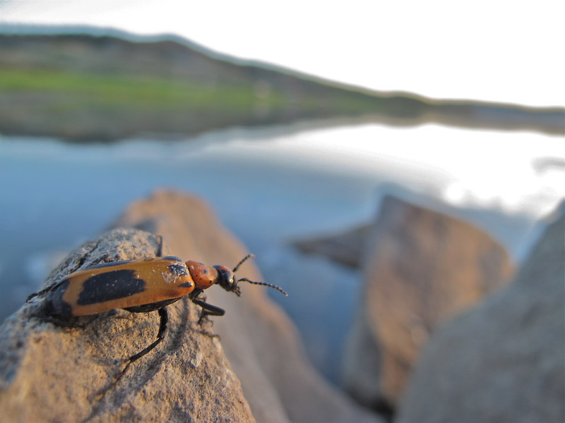 Fort Peck beetle