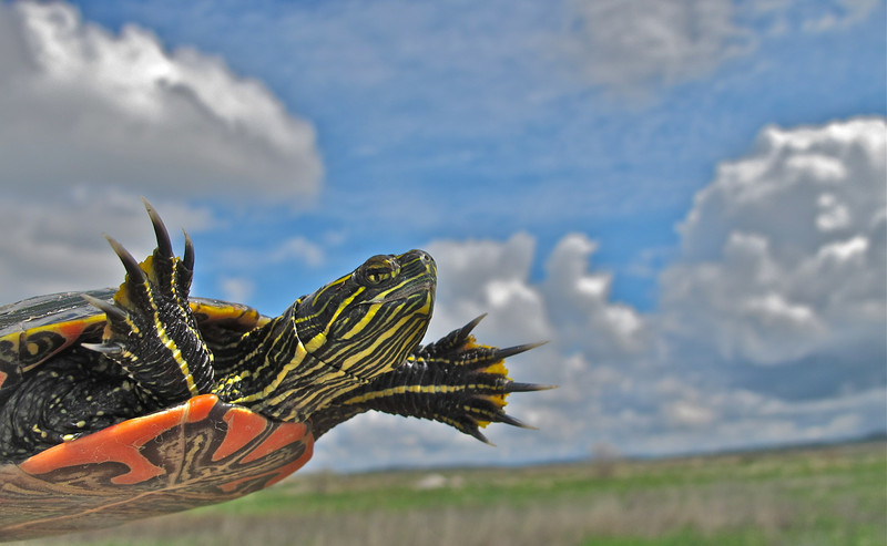 Painted Turtle in the Big Sky