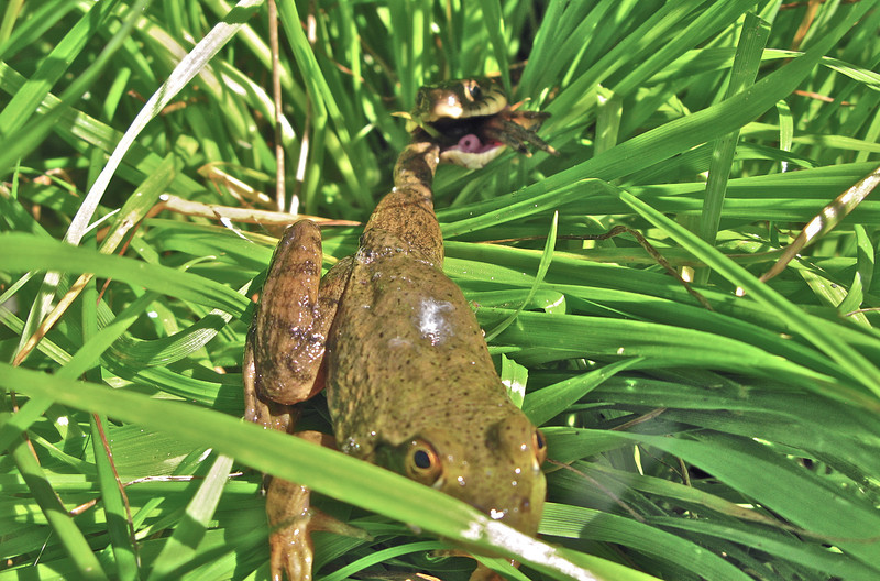 Garter Snake eating young Bullfrog.