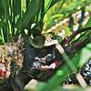 Garter Snake eats Mouse