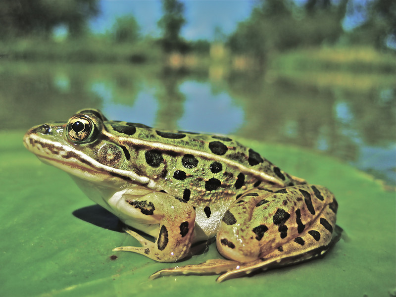 Leopard Frog on Lilypad
