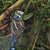 Dragonfly Art