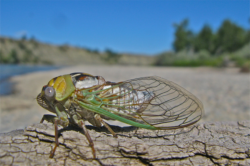 Singing Cicada on the Yellowstone