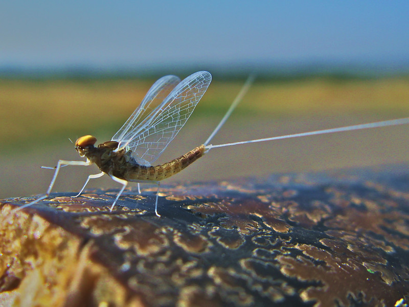 mayfly with baculite fossil