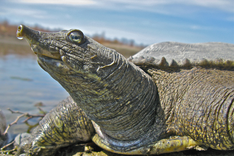 softshell turtle