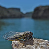 Cicada on the Big Horn