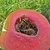 Wasps in apple
