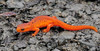 "L-Notophthalmus viridescens. The Red Spotted Newt in the ""Red Eft"" terrestrial stage. Chenango County, NY. #52.028. 1x2 ratio format."