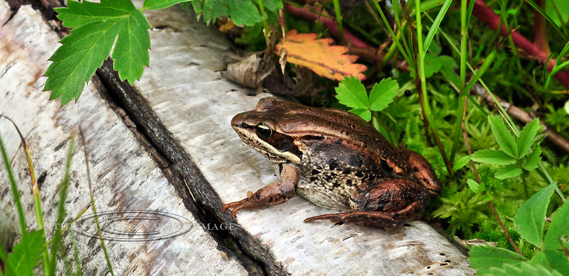 FT-Wood Frog. Little Campbell Lake,Anchorage,Alaska. #723.065.
