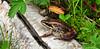 FROGS, TOADS-Frog-Lithobates sylvaticus 2010.7.23#065. Wood Frog. Little Campbell Lake, Anchorage Alaska.