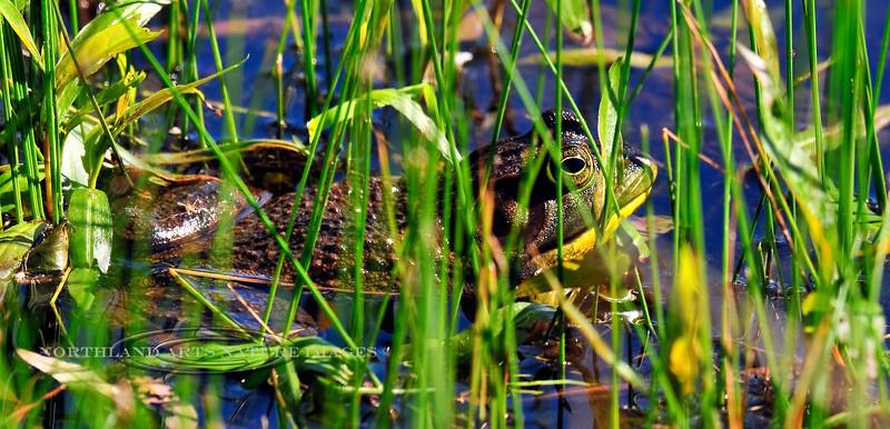 FROGS, TOADS-Frog-Lithobates catesbeianus 2010.5.5#216.3. American Bull Frog. Wildcat Lake, Bucks County Pennsylvania.