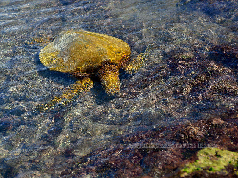 Turtle, Green Sea. Grazing on Algae in the flat water at low tide. Kiholo Bay, Hawaii. #24.260. 3x4 ratio format.