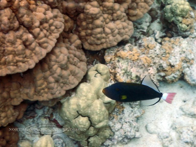 TF-Pink Tailed Surgeonfish. Kealakekua Bay, Hawaii. #25.226. 3x4 ratio format.