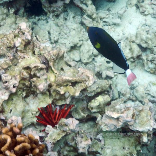 Fish-Marine 2015.2.5#227.2. Pink tailed Surgeonfish. Kealakekua Bay, Hawaii.