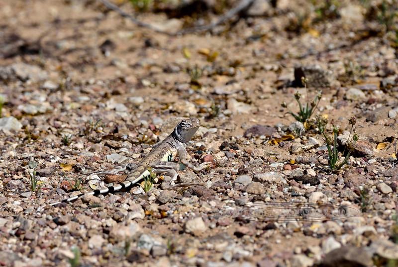 Lizard, Callisaurus draconoides, Zebra-tailed 2019.3.6#093. Painted Rock Petroglyph Site, Arizona.