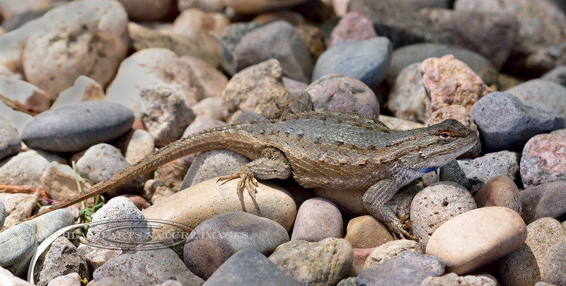 Lizard, Sceloporus tristichus, Plateau Fence species. Yavapai County Arizona. #610.002.