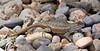 Lizard-Sceloporus tristichus 2018.6.10#002. Plateau Fence species. Yavapai County Arizona.