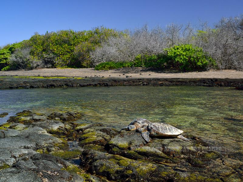 Turtle, Green Sea. Near Honokohau bay,Kona coast, Hawaii. #27.327. 3x4 ratio format.