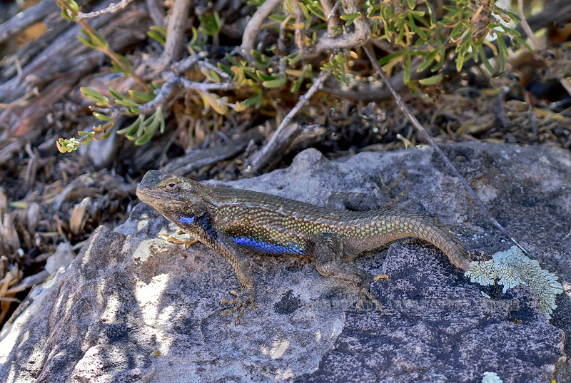 Lizard, Sceloporus cowlesi, Southwestern Fence species. The only one of this species I've encountered so far. Unfortunately a nice male that has lost his tail to a predator or in a fight like he was engaged in when I discovered him. Little Colorado River, N. East Arizona. #426.303.