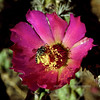 I-Bee, Halictus species. Pollinating a Cane Cholla blossom in the Santa Rita mountains Arizona. #515.956.
