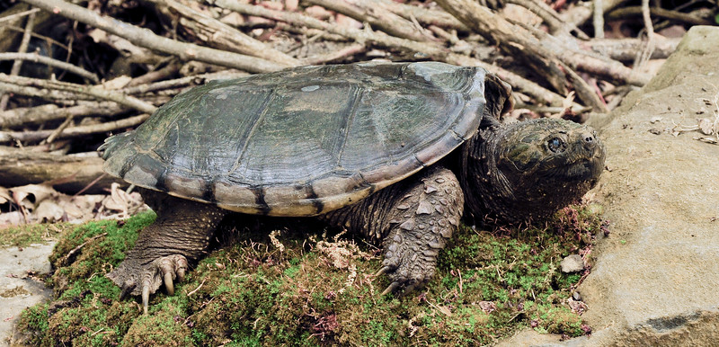 Turtle-Chelydra serpentina 2012.5.6#126.2X. A Common Snapping Turtle. Upper Black Eddy, Bucks County Pennsylvania.
