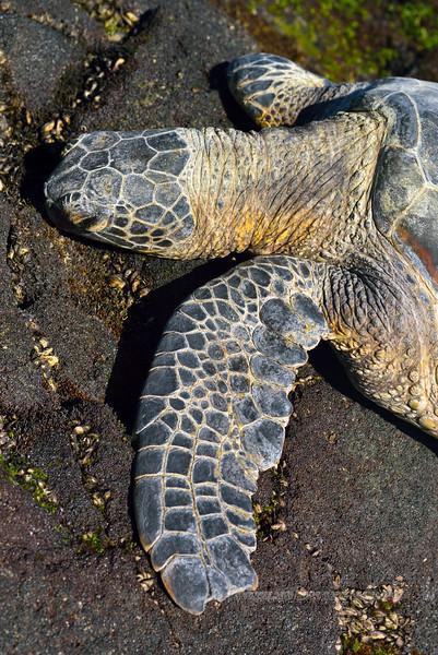 Turtle, Green Sea. Honokohau beach, Hawaii. #27.359. 2x3 ratio format.