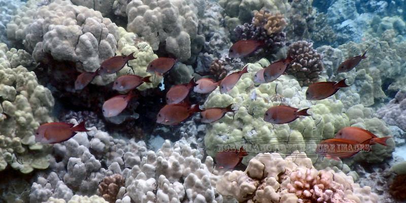 FISH-MARINE-Brown Surgeonfish 2015.2.5#247. In Coral. Snorkeling in Kealakekua Bay, Hawaii.