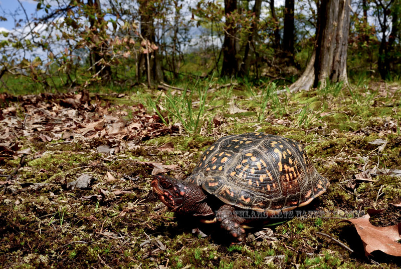 Eastern Box Turtle 2016.5.7#927. Bucks County, Pennsylvania.See the Reptile Gallery for more images.