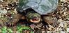 Turtle-Chelydra serpentina 2012.5.6#153.4. A Common Snapping Turtle. Upper Black Eddy, Bucks County Pennsylvania.