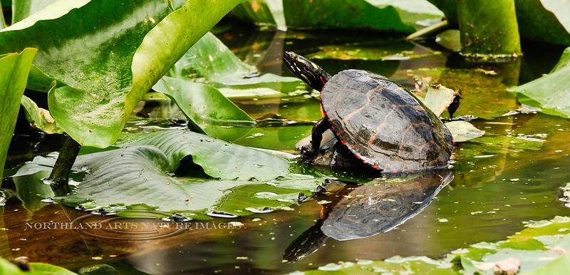 Turtle, Eastern Painted. Bucks Co.,PA. #428.117.