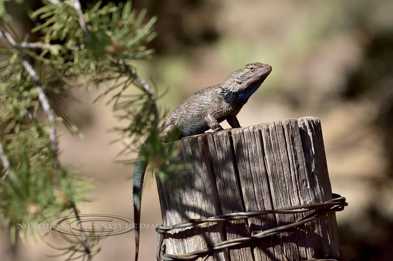 Lizard, Sceloporus clarki, Clark's Desert Spiny species. Coconino County Arizona. #612.378.
