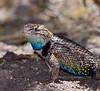 Lizard-Sceloporus magister 2021.5.14#3255.3. A beautiful male Desert Spiny Lizard. Hassayampa Arizona.