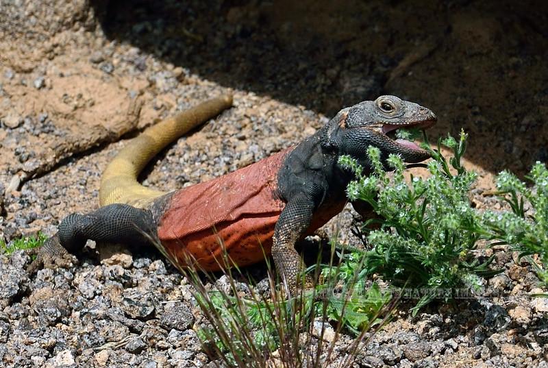 Lizard, Sauromalus ater, Chuckawalla 2019.3.6#463. Maricopa County Arizona.