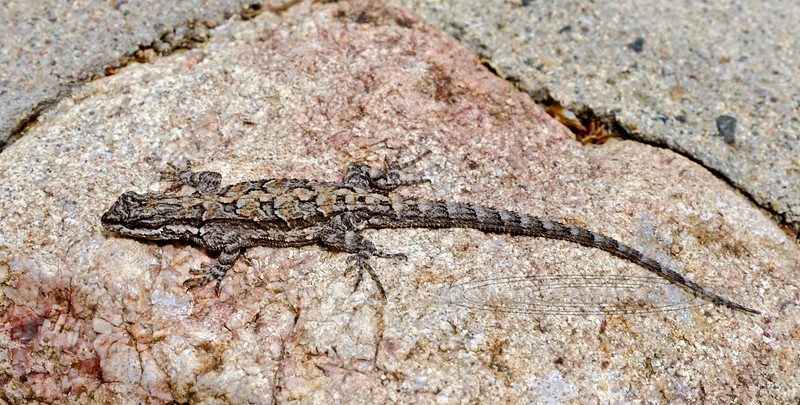 Lizard, Urosaurus ornatus, Ornate Tree species. Prescott Arizona. #415.072.