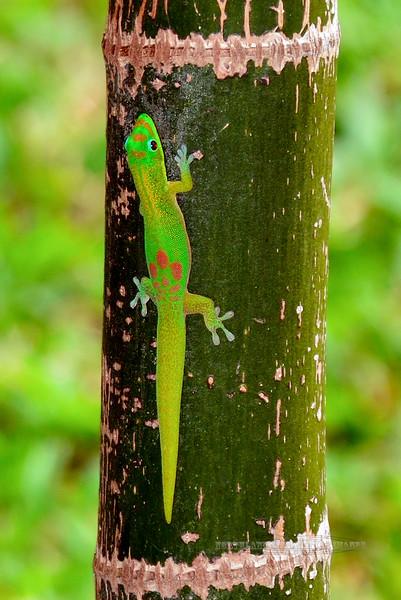 Gecko-Phelsuma laticauda 2015.2.1#389. The Gold Dust Day Gecko. An introduced species from Madagascar. Kona, Hawaii.