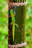L-Phelsuma laticauda, the Gold Dust Day Gecko. An introduced species from Madagascar. Kona, Hawaii. #21.389. 2x3 ratio format.