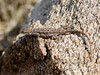 Lizard, Urosaurus ornatus, Ornate Tree species. Fain park, Yavapai County Arizona. #624.265.