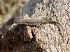 Lizard-Urosaurus ornatus  2017.6.24#265. Ornate Tree species. Fain park, Yavapai County Arizona.